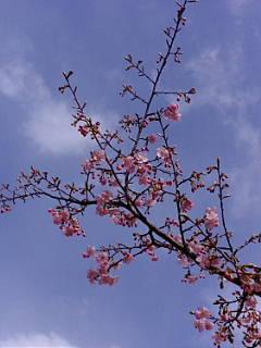 東寺の河津桜が咲いています。