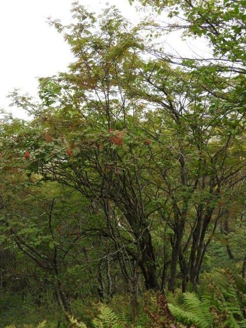 高ボッチ高原・鉢伏山で最近見る事の出来る実・種 ナナカマド(七竈)