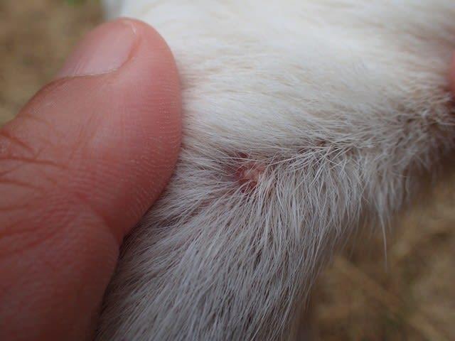 イボ 画像 犬 犬のイボ・できものは良性か悪性か?症状・原因・解決法7つ