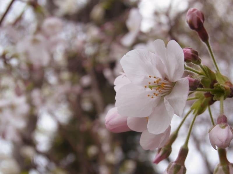 03月29日 桜
