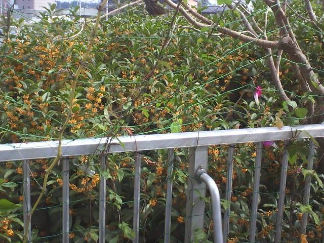 金木犀が咲きました