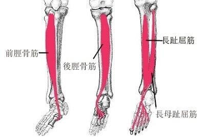 「後脛骨筋」の画像検索結果