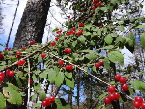 高ボッチ高原・鉢伏山で最近見る事の出来る実・種 イボタヒョウタンボク(水蝋瓢箪木)