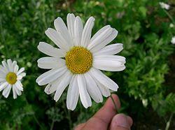 250pxtanacetum_cinerariifolium11