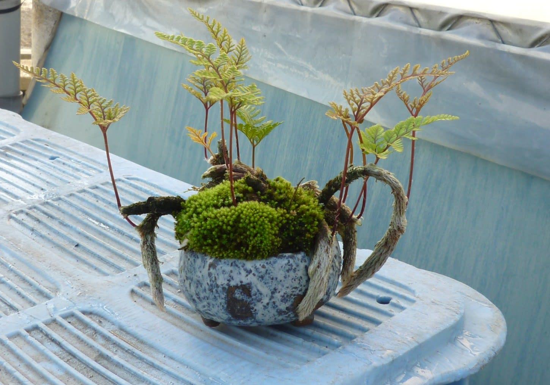 ツタのミニ盆栽の画像