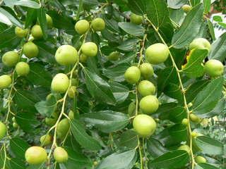 ナツメ(棗)の果実 - peaの植物...