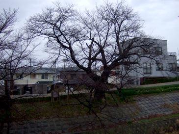 Sakurasahodai