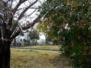 緑町公園の桜