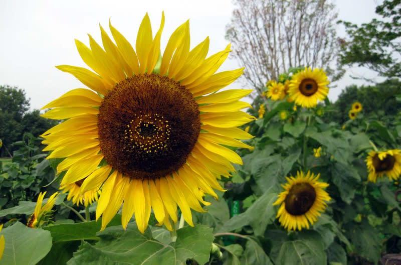 Sunflower_zoom