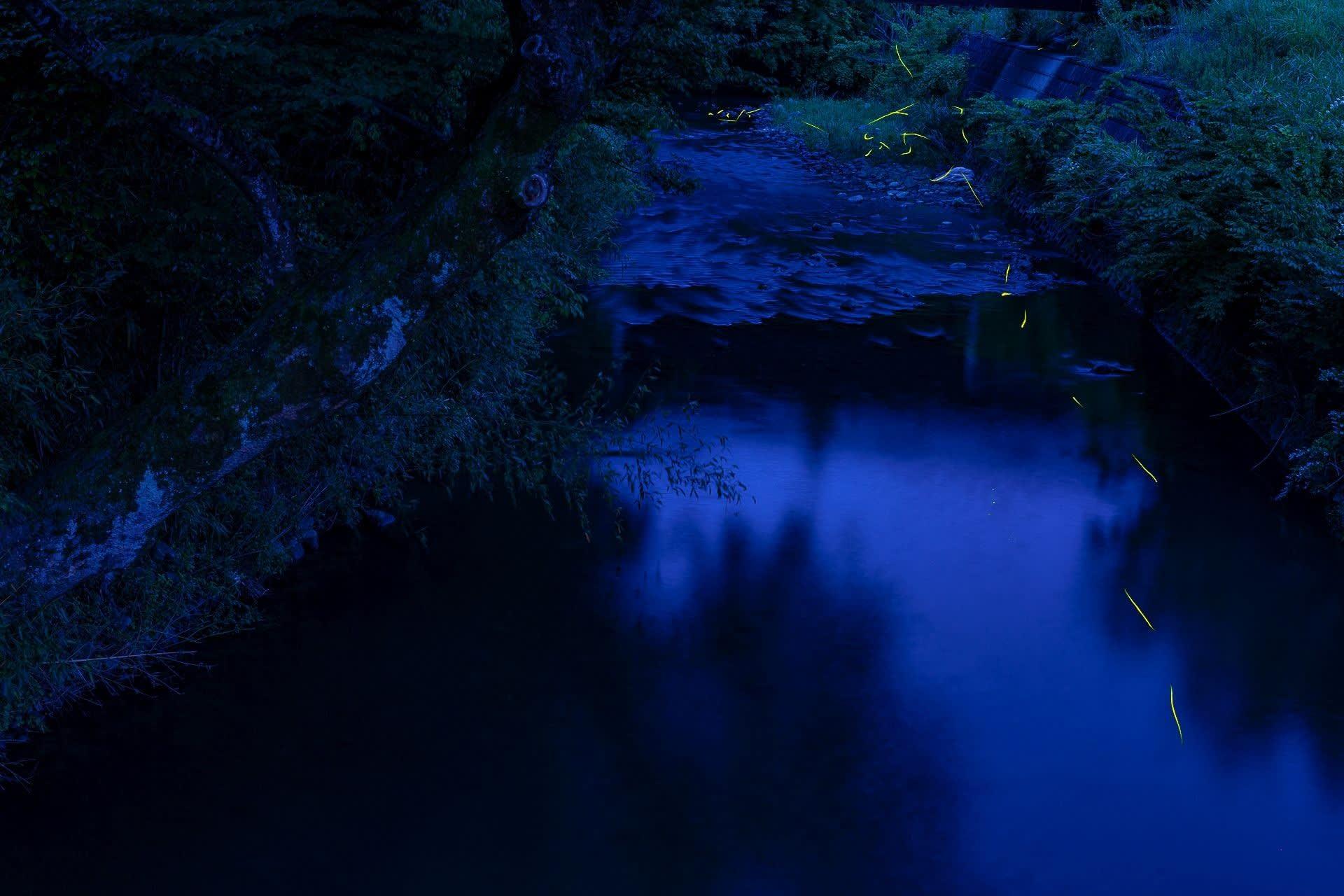 ゲンジボタル(関ケ原)の写真