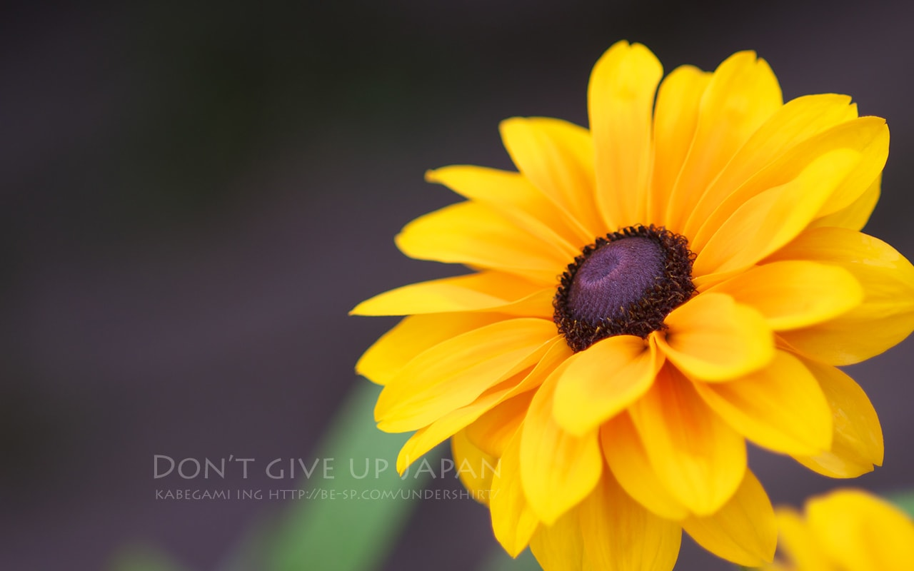 ルドベキアという夏の花 壁紙ing管理人の写真ブログ