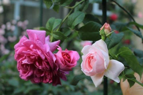 バラの枝変わり」を、我が家の庭...