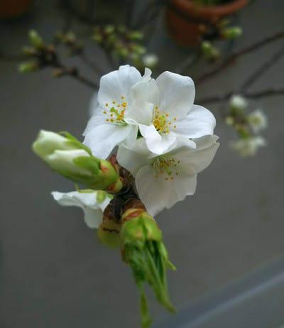 2020/3/20の桜