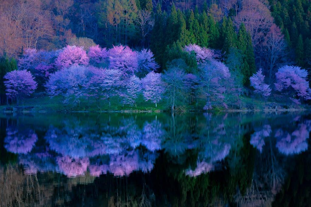中綱湖のオオヤマザクラの写真