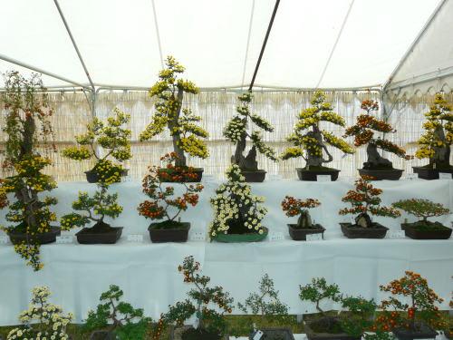 第50回国宝松本城菊花展 菊盆栽