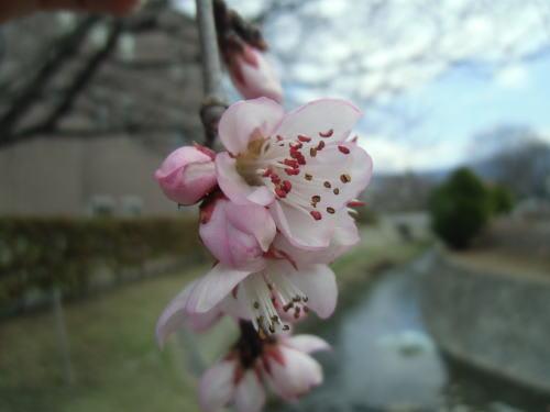 松本市中央図書館のロトウザクラ(魯桃桜)