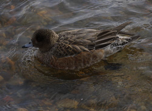 諏訪湖のヒドリガモ (緋鳥鴨)の雌
