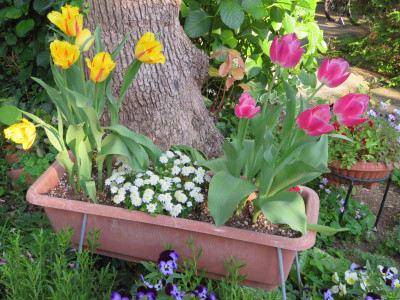 プランターに植えて花壇を彩るチューリップ