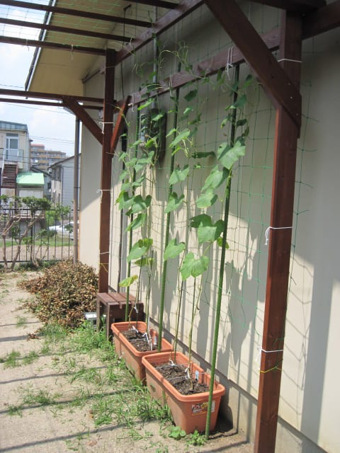 我が家の緑のカーテン・2011/06/30の画像