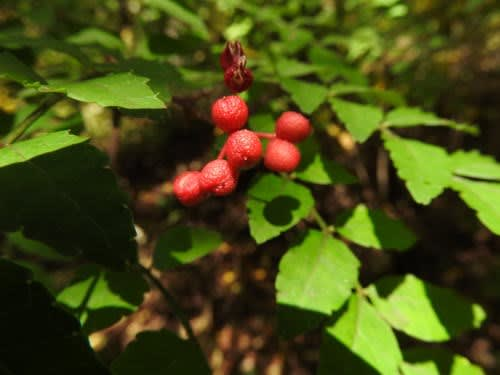 高ボッチ高原・鉢伏山で最近見る事の出来る実・種 サンショウ(山椒)