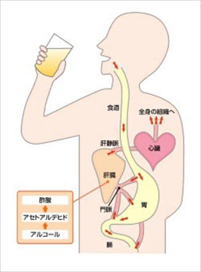 胃カメラ検査後飲酒は出血の原因になります | 人間 …