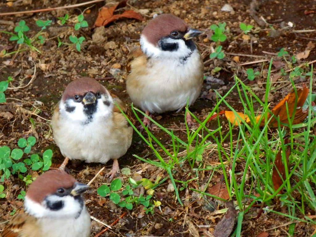 雀のミツバ画像