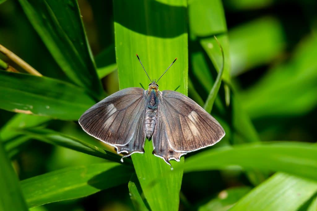 ヒロオビミドリシジミ(メス)の写真