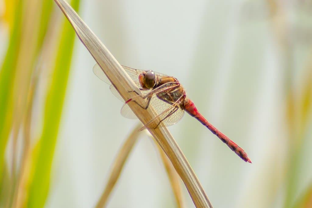 タイリクアカネの写真