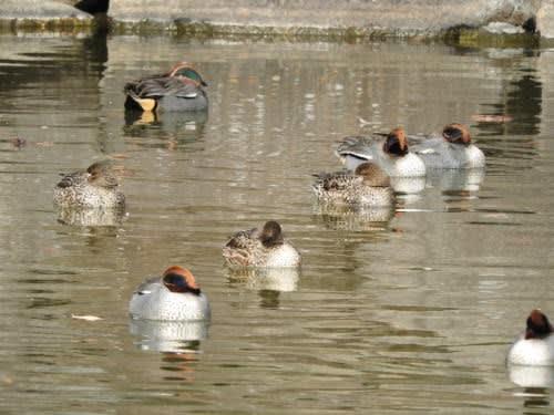松本城で見た鳥 コガモ(小鴨)