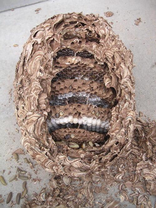 キイロスズメバチの巣をとり、巣...