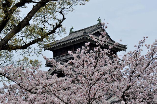 さくらと熊本城天守閣