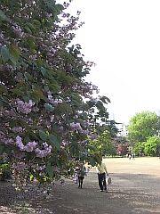 庭園の一角に咲く八重桜