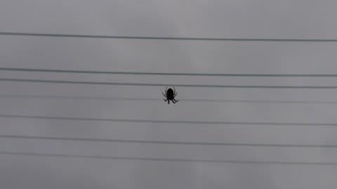 最近見かけていた蜘蛛