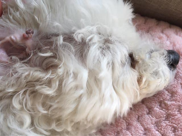 愛犬のイボ問題ー老犬のイボ 乳頭腫 どんどん大きく トイプードル