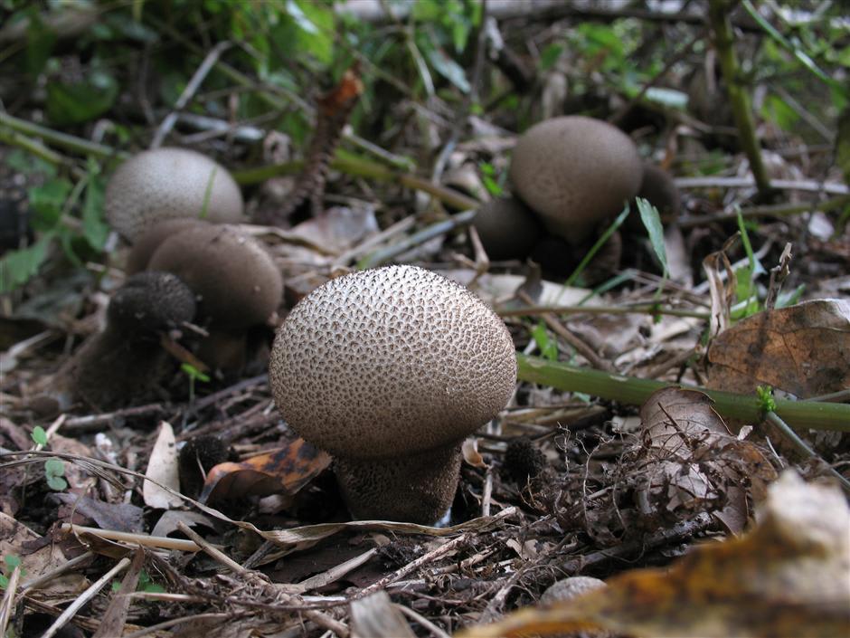 不明の Lycoperdon sp. 2種 2009...