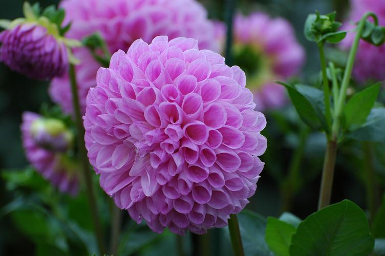 過去の写真~花 ダリアの美しさ