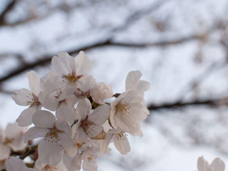 03月23日 桜