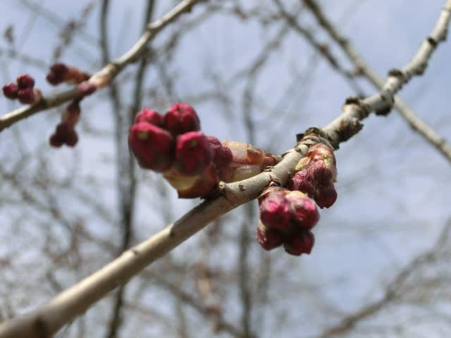 しだれ桜のつぼみ
