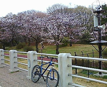 桜 狭山湖