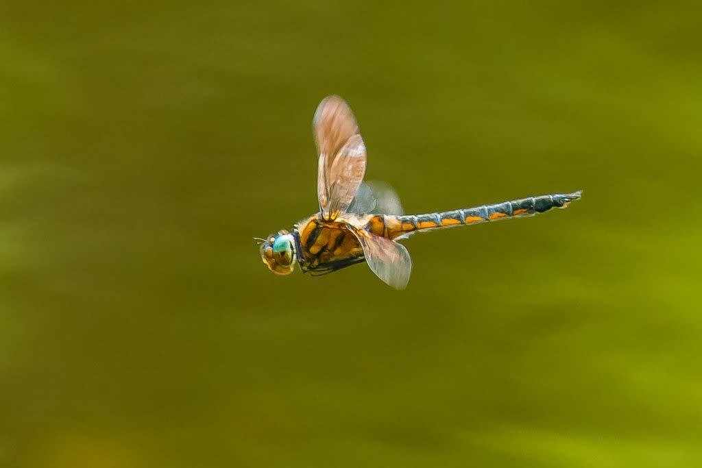 オオトラフトンボの飛翔写真