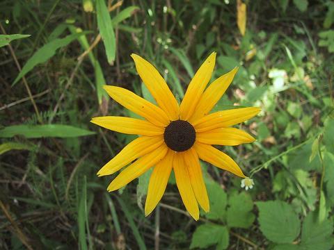 草原に咲く、Black-Eyed Susan