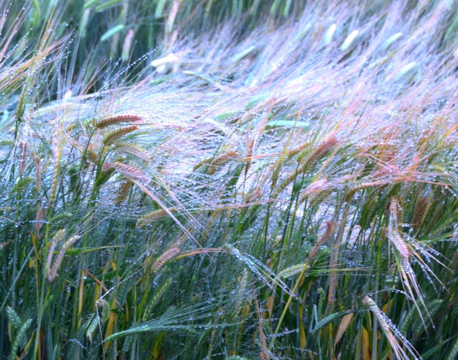 2013 05 30 霧雨に濡れそぼる、麦の穂
