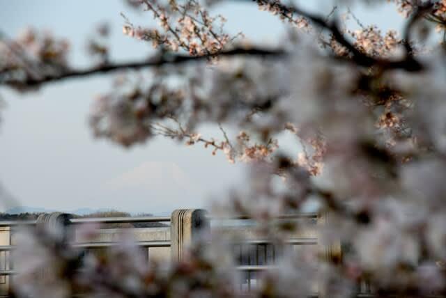 多摩湖 狭山湖 桜開花情報 最新 2021