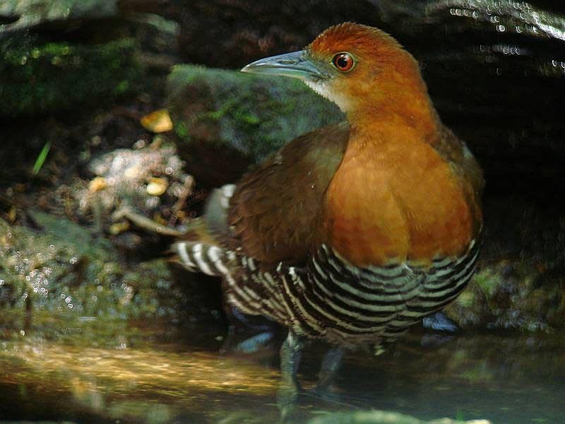 「ツル目 Gruiformes」のブログ記事一覧-タイ王国 南の鳥 <Nok Park Tai> ※タイトル変更 23Mar2014