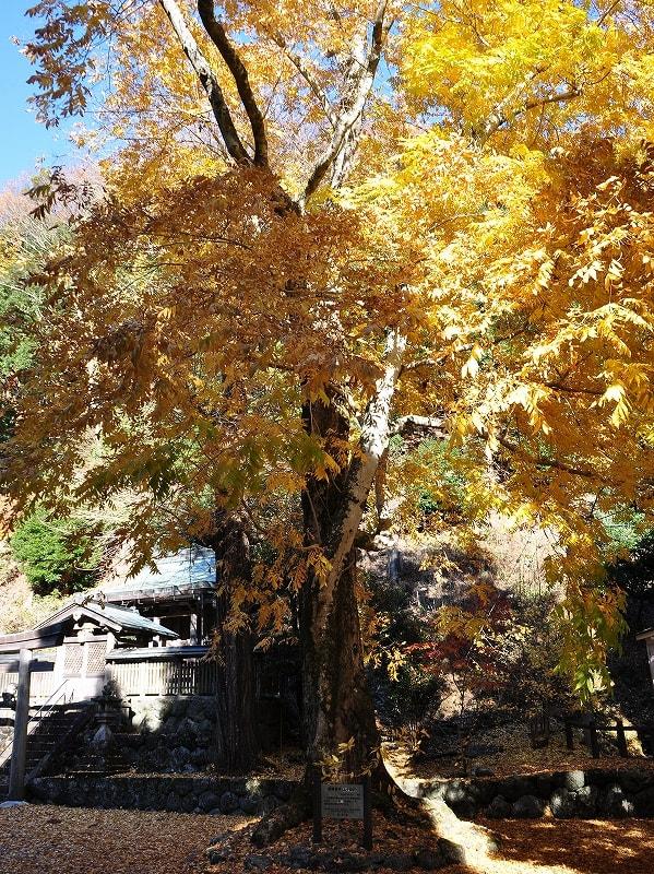 大豆生八幡神社のムクロジの巨樹
