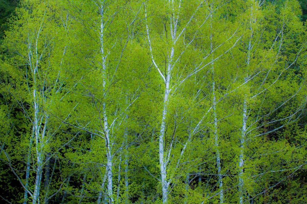 新緑の白樺の写真