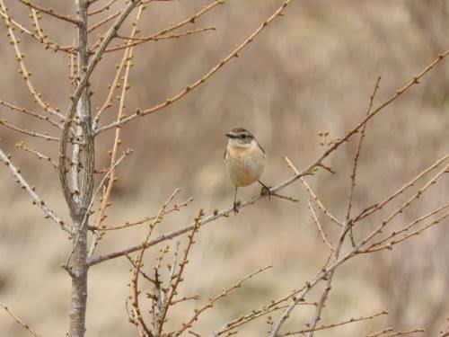 高ボッチ高原・鉢伏山で見た鳥 ノビタキ(メス)