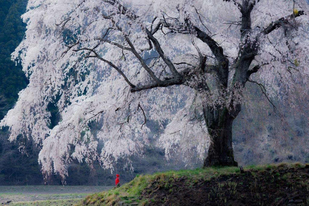 上発知のしだれ桜