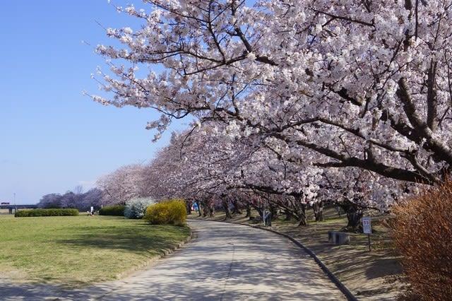 伊勢市「宮川の桜」見てきました〜(^^)