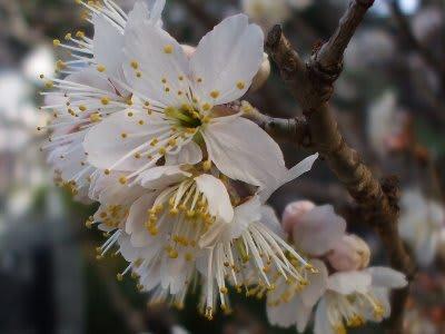 サクランボの花とクロッカス